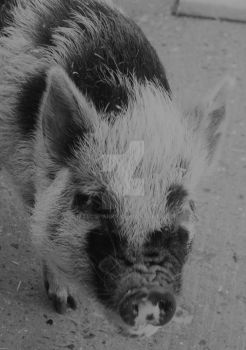 Black and white pig by MarcSpanks