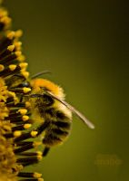 Bee on a sunflower by Clericer70