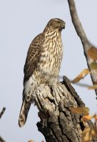 Juvenile Northern Goshawk by sgt-slaughter