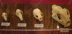 Various Animal Skulls 2 by FantasyStock