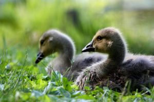 Goslings by FriendFrog