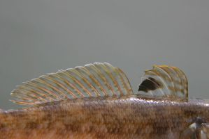 Black dot features round goby by slingeraar