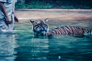Tiger in water by Izzys-Photo-Corner