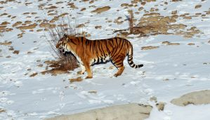 Snow Tiger by mrthemanphoto