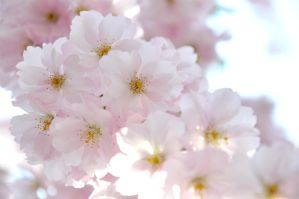 Cherry Blossoms by SeleneChoiseul
