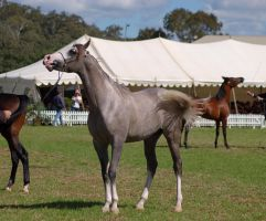 TW arab white face grey calling out by Chunga-Stock