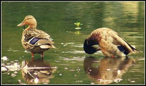Tending to Needs: Mallards by Through-the-Lens234