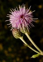 Plume thistle by webcruiser