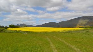 Rapeseed field by F16CrewChief