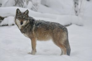 Mexican Wolf 7709 by mgroberts