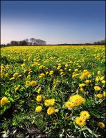 Millions of Dandelions... by MichiLauke