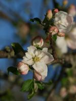 Apple Blossom 13 by botanystock