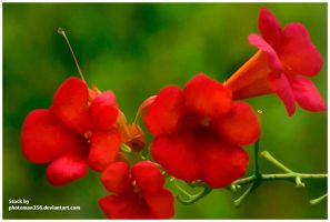 Stock flowers 1384 by photoman356