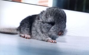 The newborn chinchilla by eRiver