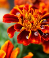 Rain Drops on Marigolds by ReyesK9