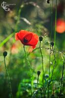 Coquelicot by ClaraLG