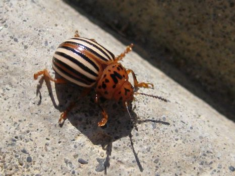 Potato Beetle by firestar3590