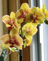 Lime Green Spotted Moth Orchid by Kitteh-Pawz