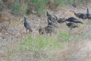 Gobble, Wild Turkeys By the Side of the Highway 3 by Miss-Tbones