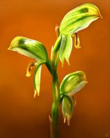 TALL GREENHOOD ORCHIDS by simoneyvette
