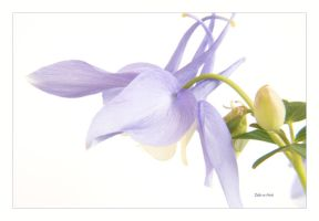 Blue Columbine 1 by Deb-e-ann