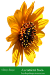 Girasol 2  by DenysRoqueDesign by DenysRoqueDesign