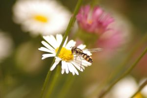 Hover fly by Frailbeth