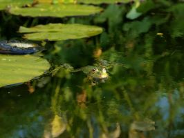 There are many frogs in the pond. by JoanaMary