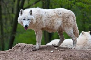 Arctic Wolf VI by amrodel