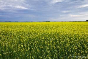 Yellow Fields by rici66