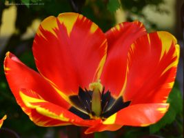 Variegated Tulip by artamusica