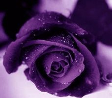 Purple Rose with Drops by MistressWolfy