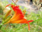 Flower of Fire 2 by starryfish