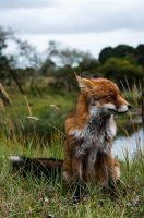 Foxes 10 by DarkDeltaPhoto