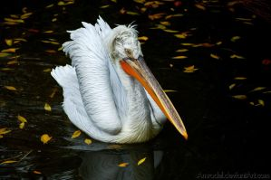 White Pelican by amrodel