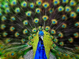 Peacock by arisV8