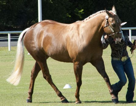 Palomino-qh8 by tbg-stock-images