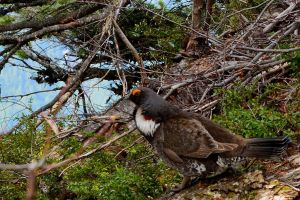 spruce grouse by BCMountainClimber