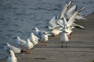 seagulls by spiti84