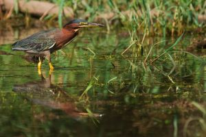 Green Heron Reflection by Merlinstouch