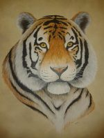 Tiger portrait by simonbearedwards