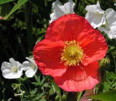 Poppy, red and white by JocelyneR