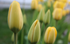 Tulips_2 by sagorpirbd
