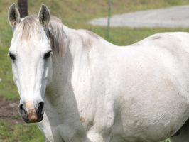 White Horse 01 by Eltear-Stock