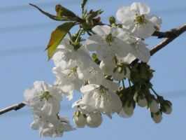cherry flowers 5 by lily-macovei