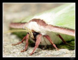 luna moth profile.. by rhyinsdad