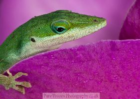 Green Anole on pink orchid by AngiWallace