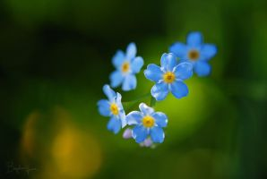 Forget-me-not by BogdanEpure