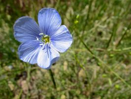 Blue Flax Flower by Sing-Down-The-Moon