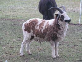 Jacob's sheep ram2: stock by Lythre-does-photos